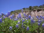 Bluebonnets in the Hill Country